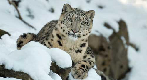La Inteligencia Artificial de Microsoft ayuda a proteger a los leopardos de las nieves
